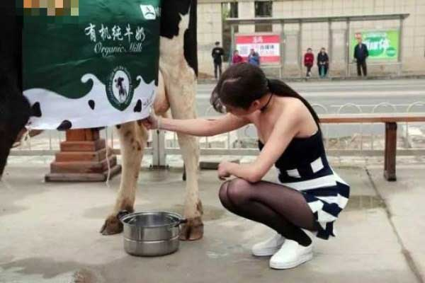 性感黑丝妹街头牵奶牛现场挤奶宣传有机概念3