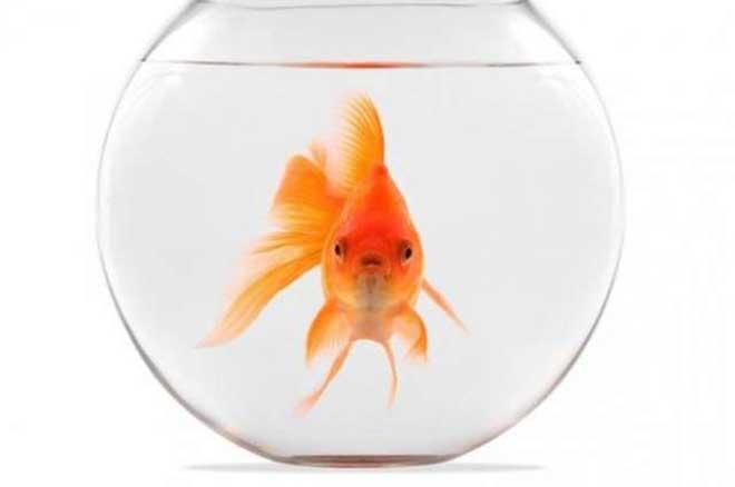 在瑞士,养一只金鱼是违法行为,养猫必须能够户外活动