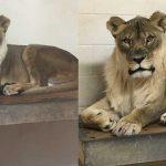 母狮子为何长出只有公狮子才有的狮鬃?