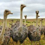 """它们是世界现存最大的""""平胸鸟"""",你晓得为什么鸵鸟肉会是红色"""