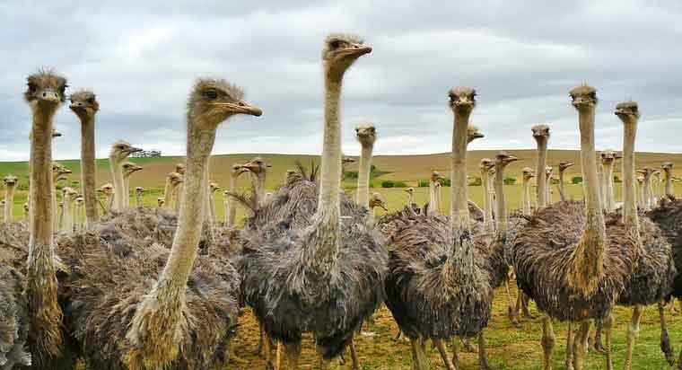 """世界现存最大的""""平胸鸟"""",鸵鸟肉为什么是红色的"""